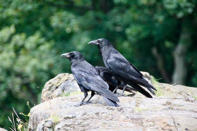 Ravens at Stirling Castle