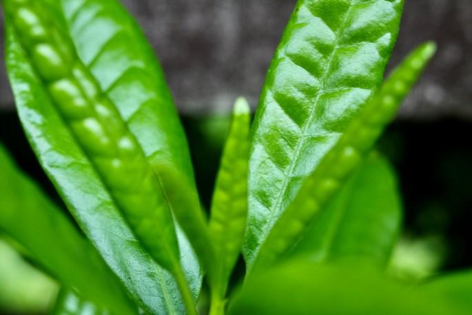 Rhodey leafs