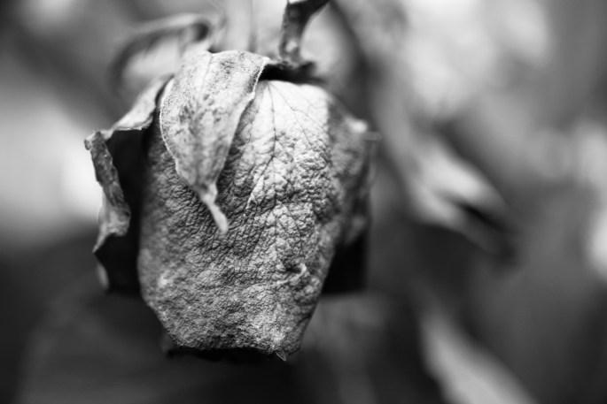Ageing rose