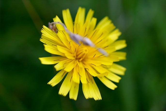 Oat grass & a dandelion