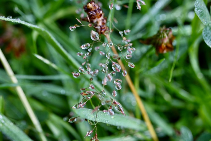 Raindrops on oat grass