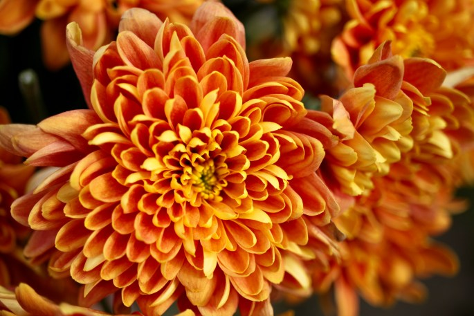 Orange chrysanths