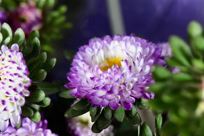 Purple & white asters