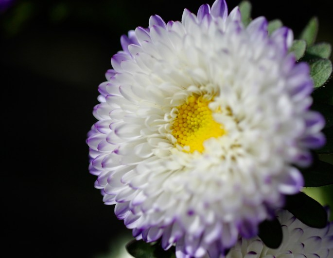 Purple & white aster