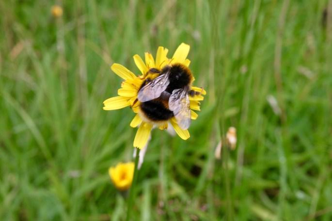 Bee & a dandelion