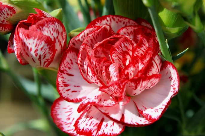 Red edged carnations
