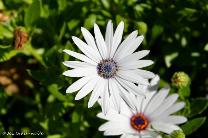 White cape daisies