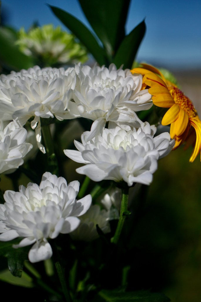 White crysanths