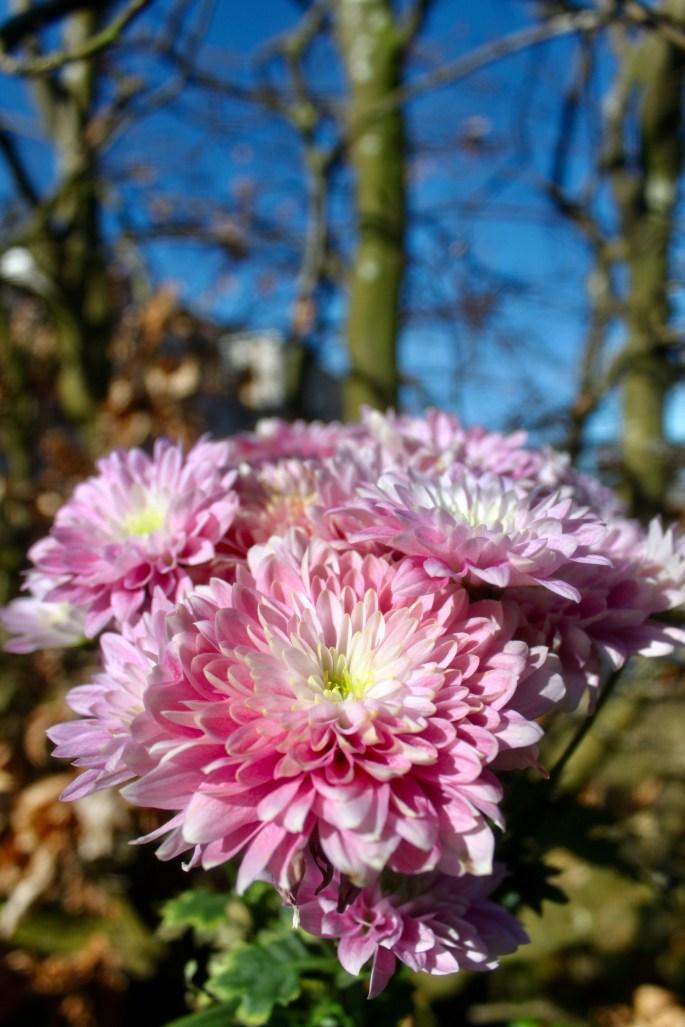 Pink chrysanths