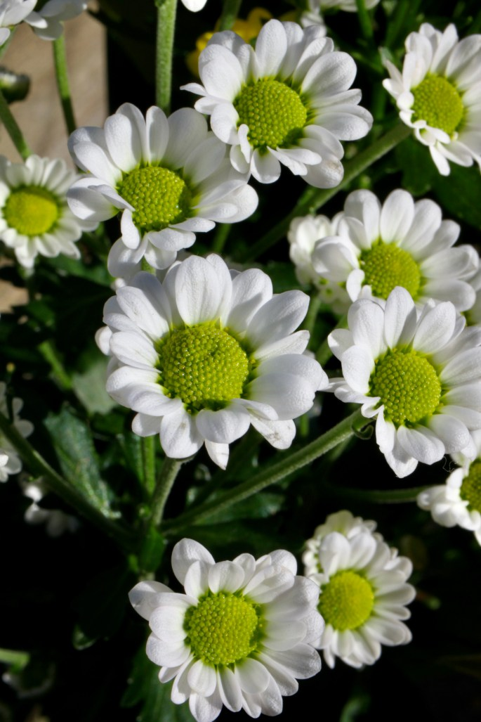 White chrysanths