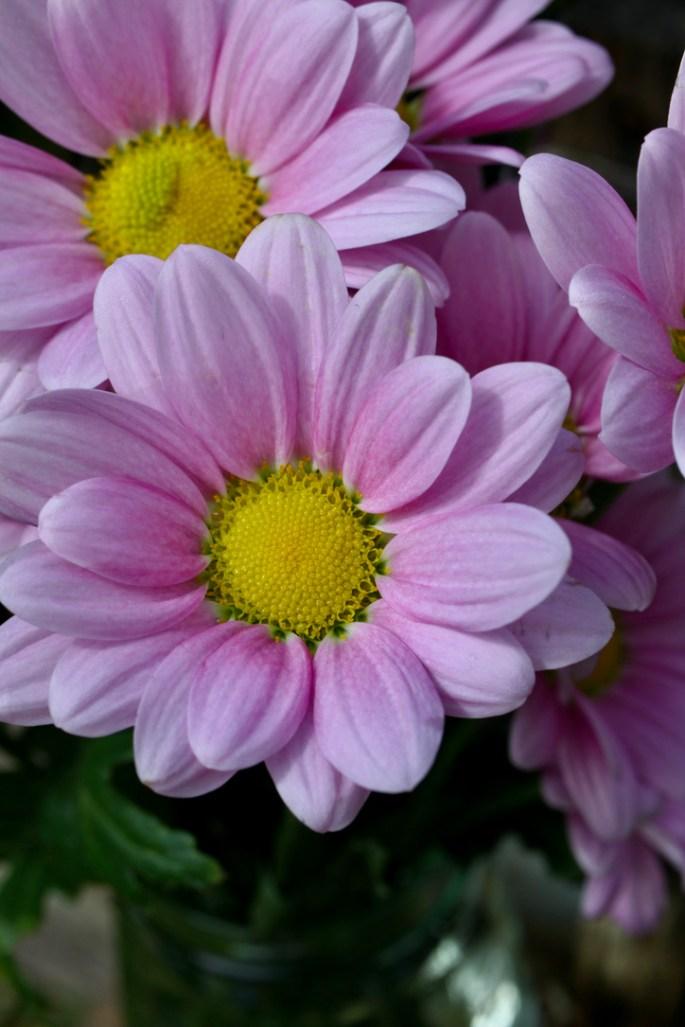 Pale pink chrysanth