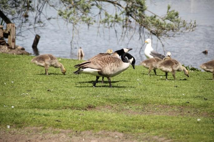 Canada geese & gull