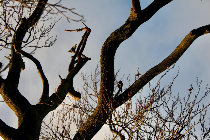 Ravens sitting in a tree