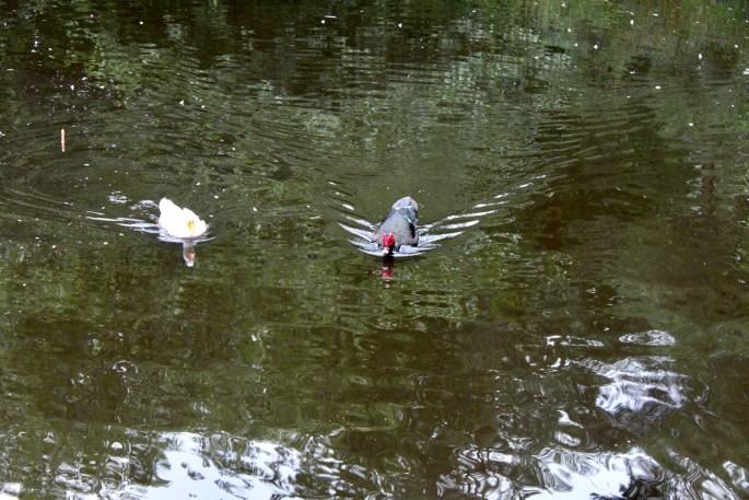 Eider duck & muscovy duck