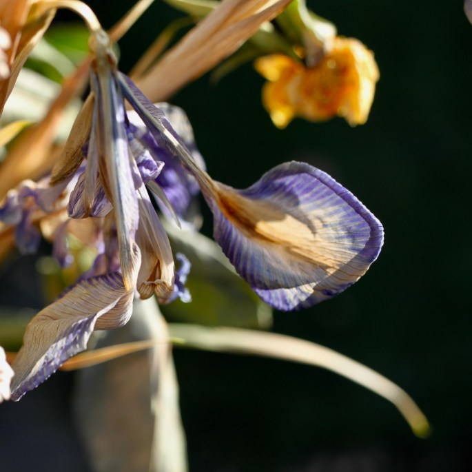 Dried irises