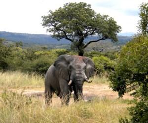 Mbala l'éléphant