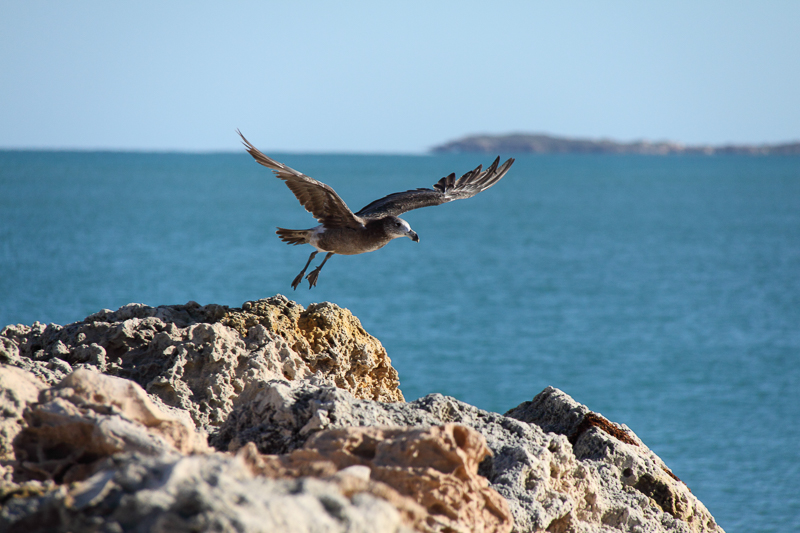 Product image for Pacific Gull - Take off