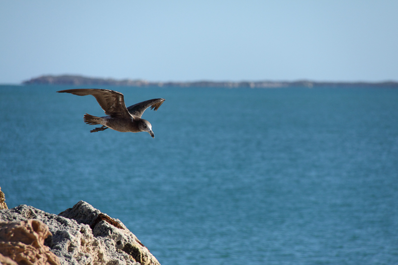 Product image for Pacific Gull Floating