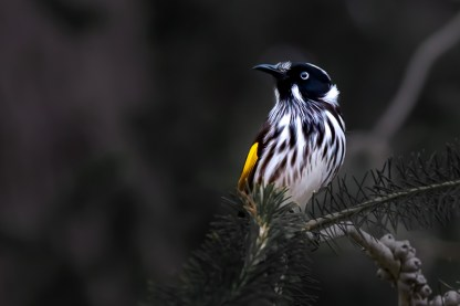 Product image for New Holland Honeyeater