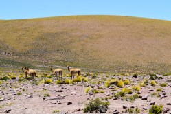 Vicuñas Altiplano Norte Chile