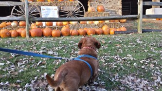 Oscar takes a gander at painted pumpkins on our fall walk.