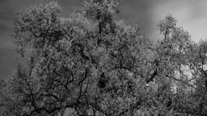 Oak Tree Napa California