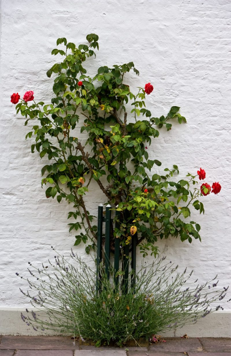 Roses on white wall - Friedrichstadt Germany