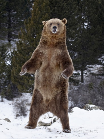 James Hager Grizzly Bear Ursus Arctos Horribilis Standing In The Snow Near Bozeman Montana Usa Jackson Hole Conservation Alliance