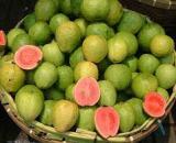 Guava [गुआवा] – अमरूद् [Amrood]