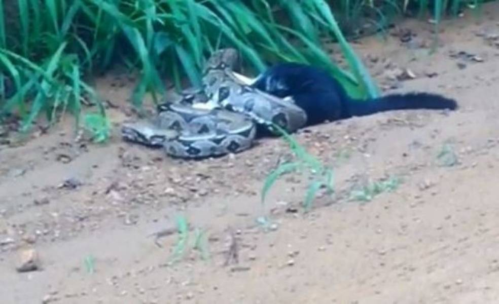 CHOCANTE – Jornalista filma jibóia estrangulando gato em Rondônia – VÍDEO