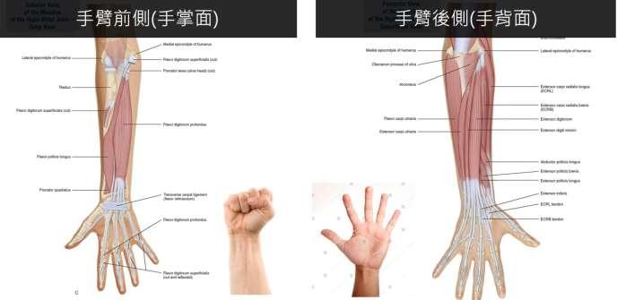 手臂肌肉比較.jpg