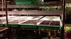 Seedlings in Jennifer's basement.