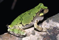 Bird-voiced Treefrog. Adult Hyla avivoca, green phase. Photo: Kenny Wray