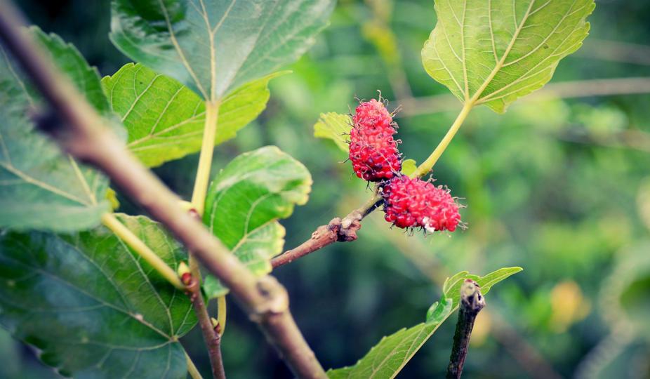 桑葉和桑椹 Mulberry leaf and mulberry