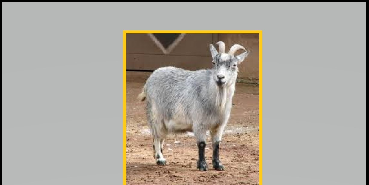 Pygmy goats for sell