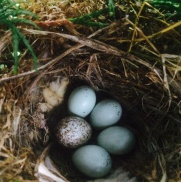 Speckled Cowbird Egg