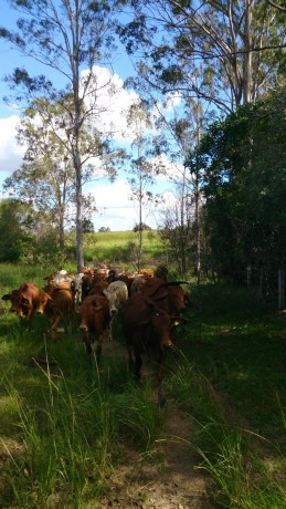 The joys of having good dogs. They keep the cattle following you.