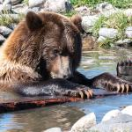 Grizzly Bear by Jill Geoffrion photographer