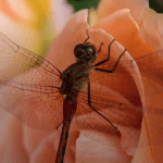 Dragonfly on a Rose, Wisconsin