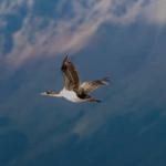 Imperial Cormorant by Jill Geoffrion
