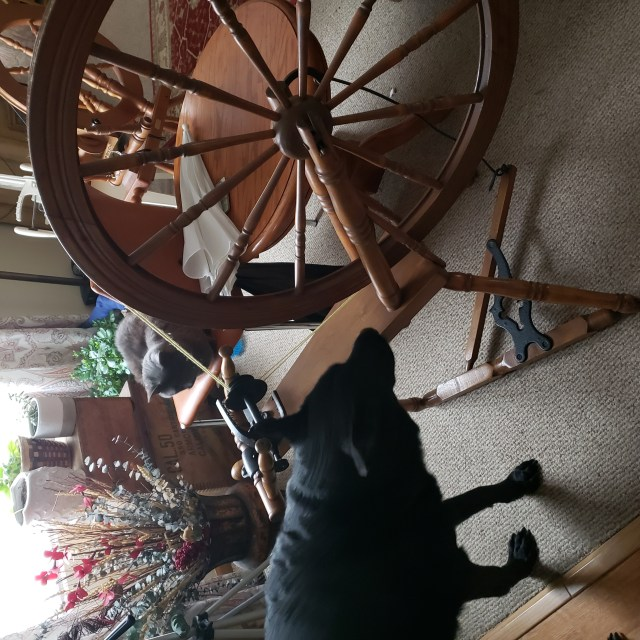 A picture of my dog investigating my antique Canadian production wheel after I brought it home.