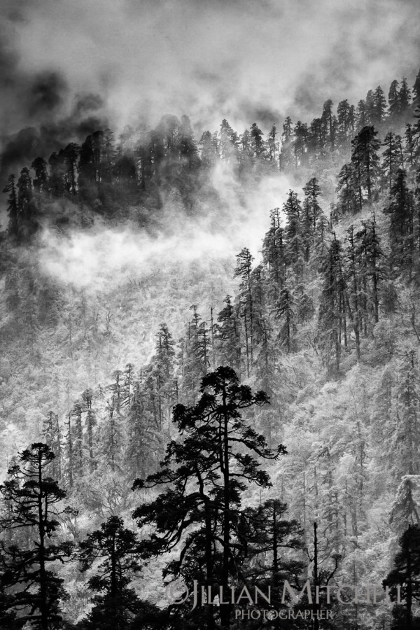 Clouds and mist swirls in the surrounding pine forests during the ascent on the Annapurna Dhaulagiri trail, Nepal.