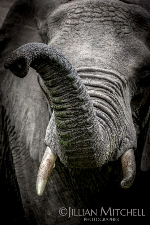 Closeup of an elephant with trunk in the air.