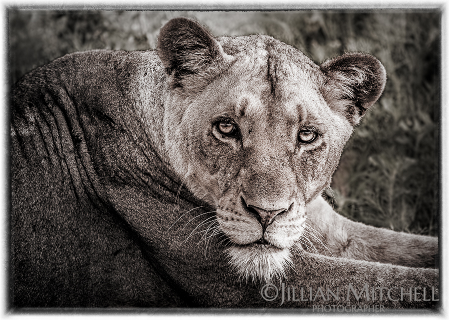 Look into my eyes - Kruger Lioness