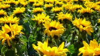 Sunflowers on the Champs Elysees