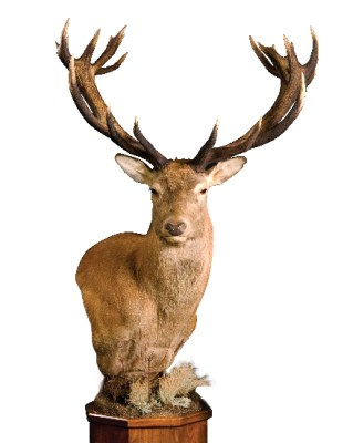 Mount by Monarch Taxidermy, G-1432-5WP, Red Stag, Upright, Wall Pedestal, Right Turn