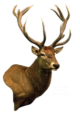 Red Stag, G-1432-5WP, Wall Pedestal, Upright, Right Turn