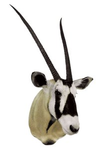 Gemsbok, G-1541, Mount by Mark McLain