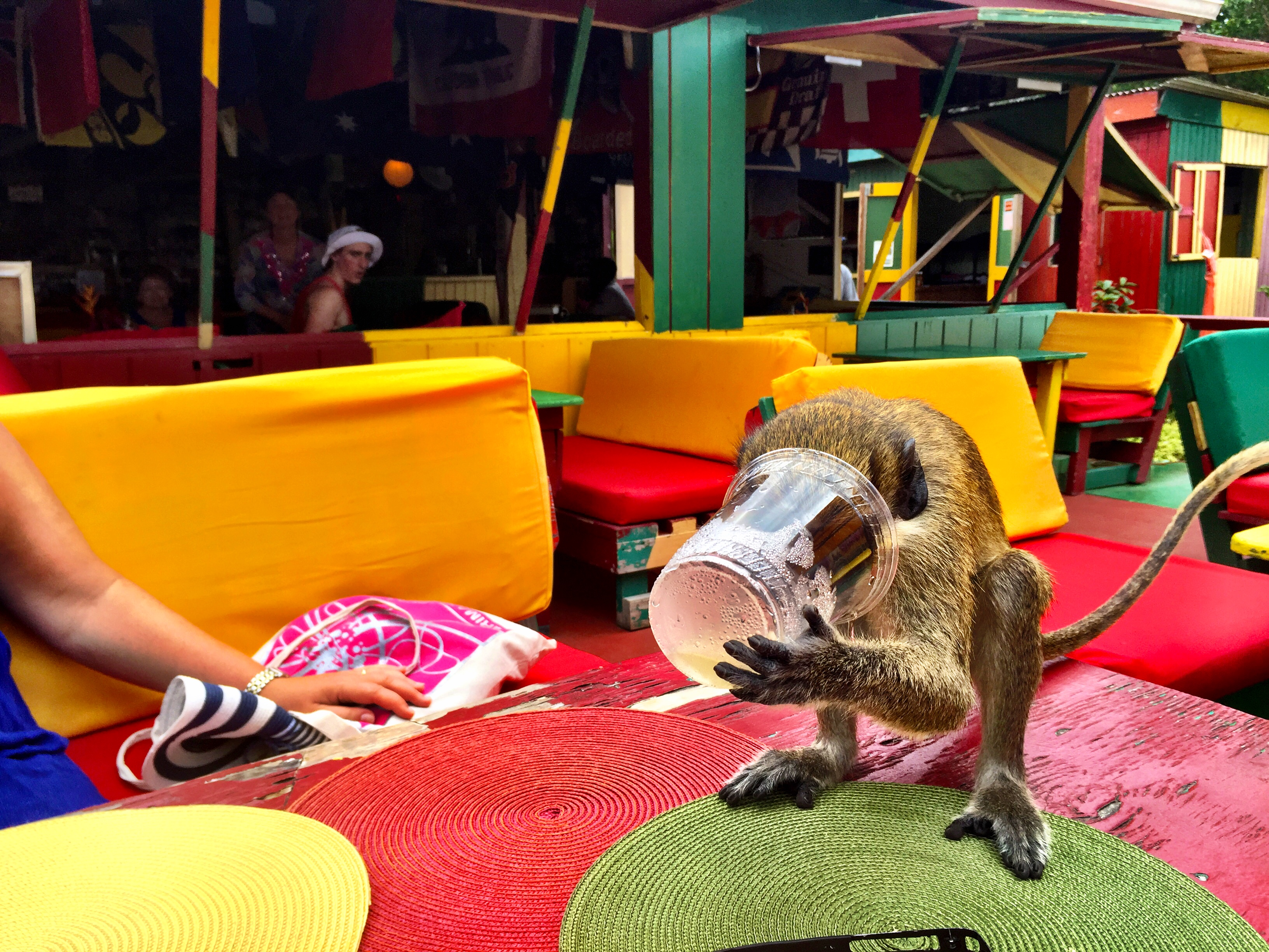 "Even monkeys (especially monkeys) love the ""Killer Bee"" rum punch at Sunshine's Bar on Nevis. - JIM BYERS PHOTO"