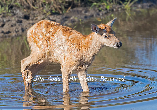 This elk calf spent over an hour by itself exploring a stock pond near Pierce Point Ranch.